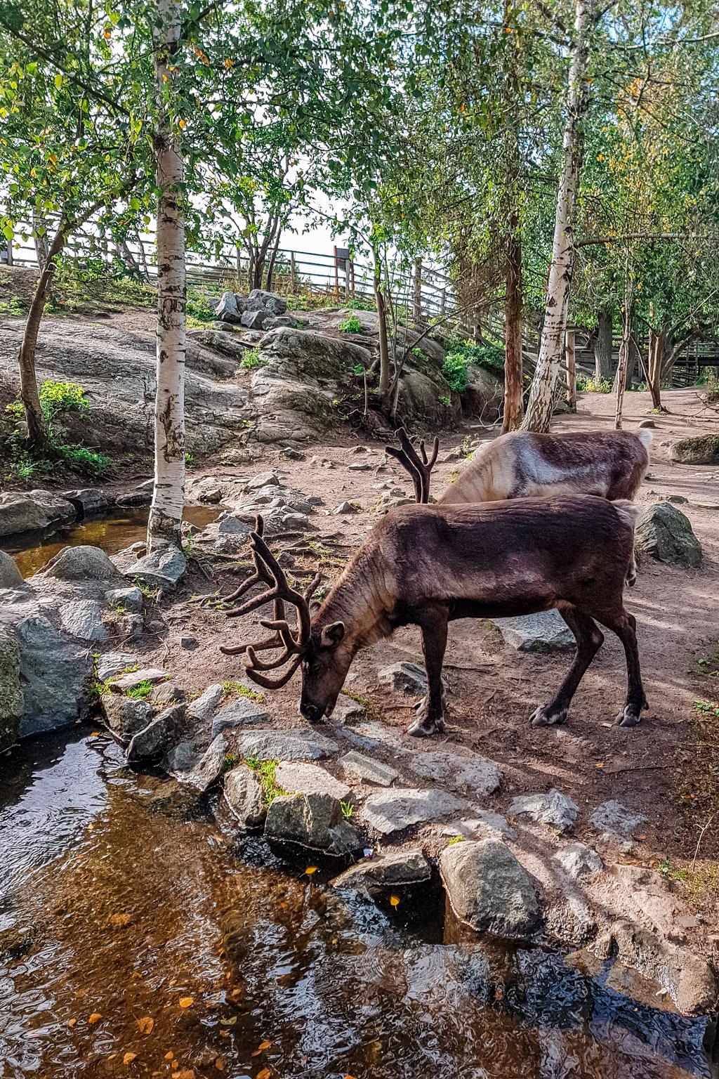 Stockholm Open Air Museum Reindeer