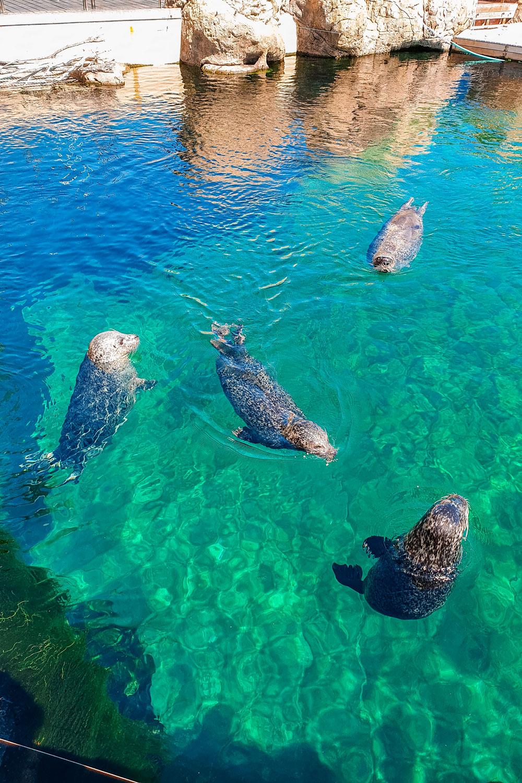 Seals Playing at Oceanografic Valencia
